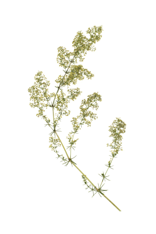 Galium verum / Lady's Bedstraw
