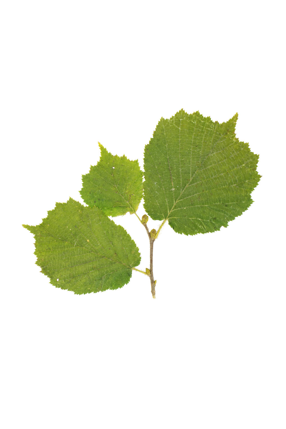 Common Hazel / Corylus avellana