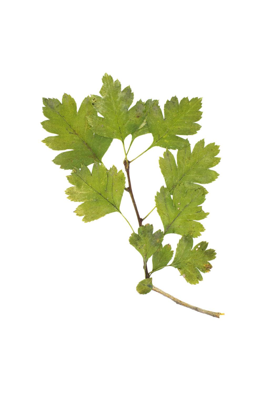 Midland Hawthorn / Cratageus rhipidophylla
