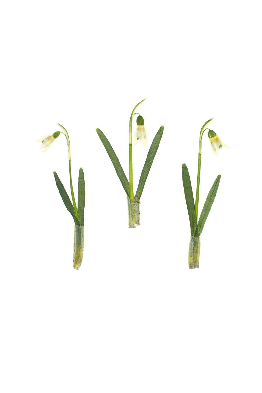 Galanthus nivalis / Snowdrops