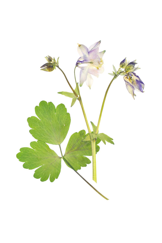 Aquilegia vulgaris / European Columbine