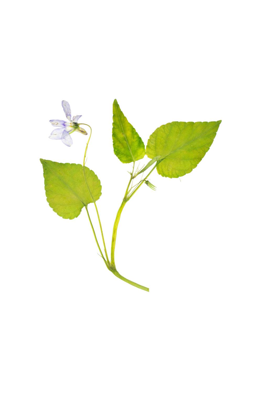 Viola riviniana / Common Dog Violet