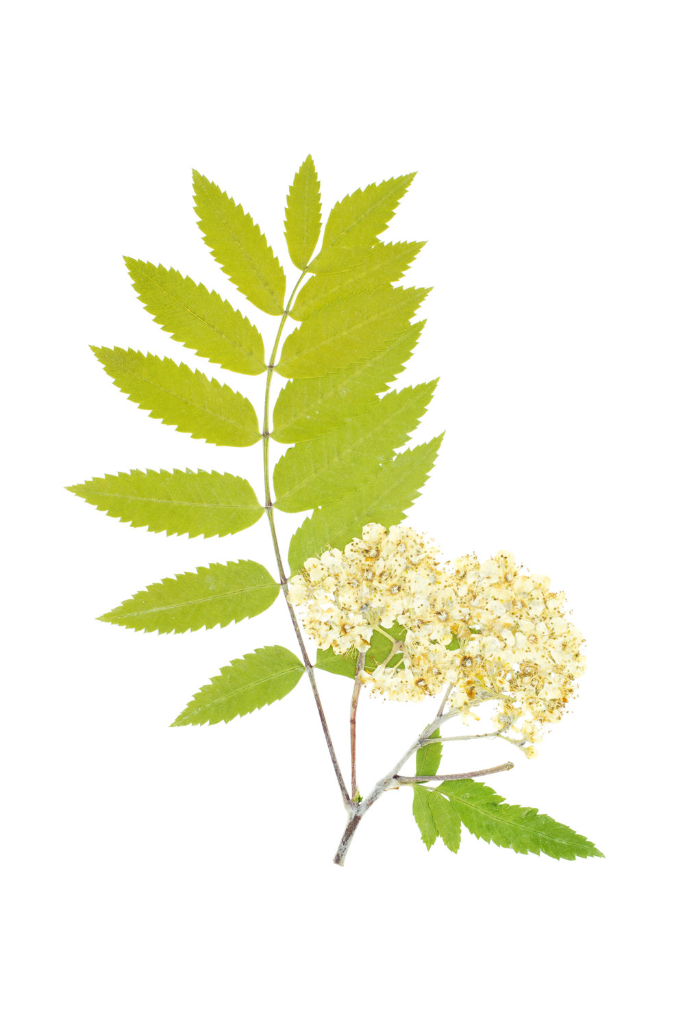 Sorbus aucuparia / Mountain Ash or Rowan