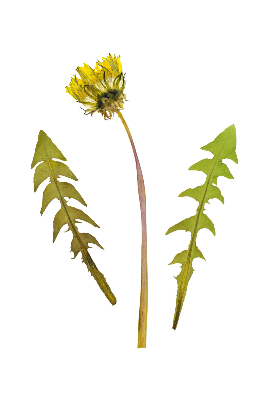 Taraxacum officinale / Dandelion