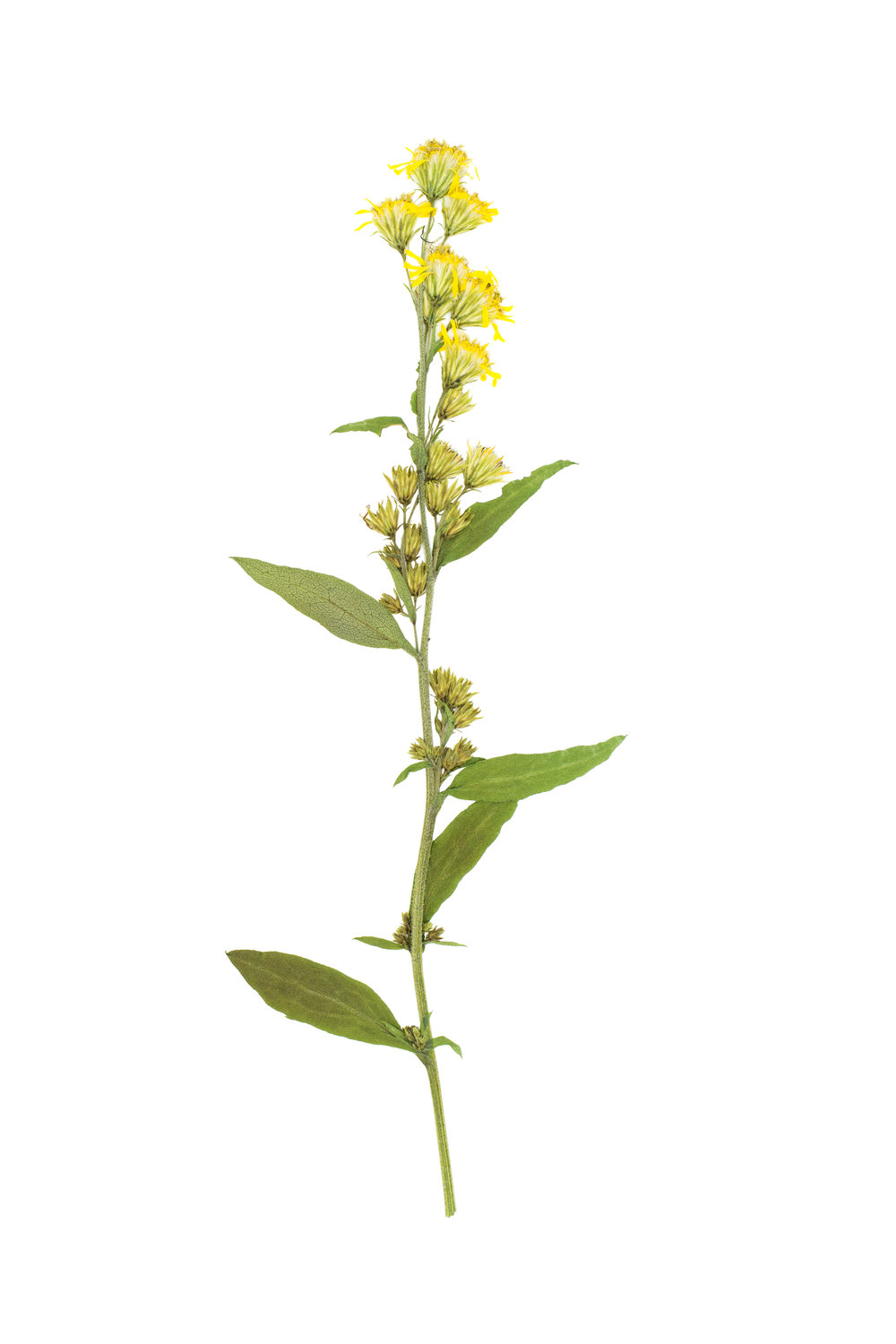 Solidago virgaurea / European Goldenrod