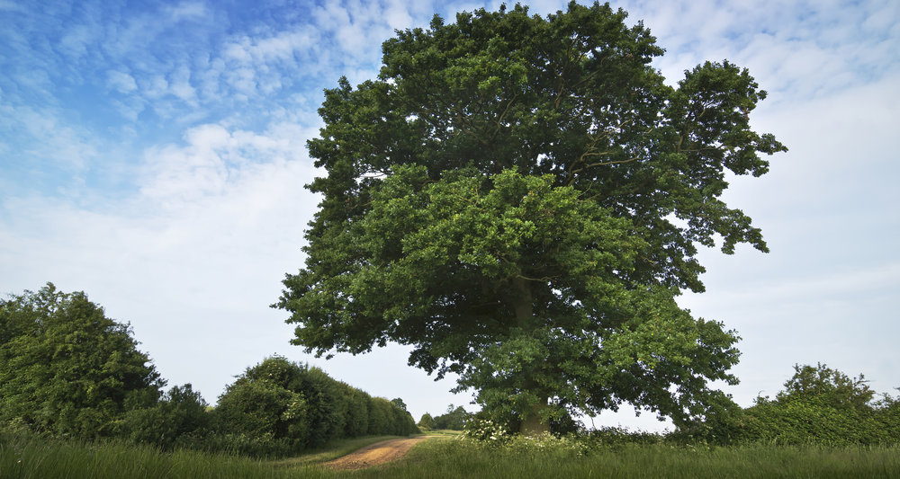 "photograph: "" English oak / Quercus robur "" by  AJ Cann  licensed under  CC BY-SA 2.0  / cropped from original"