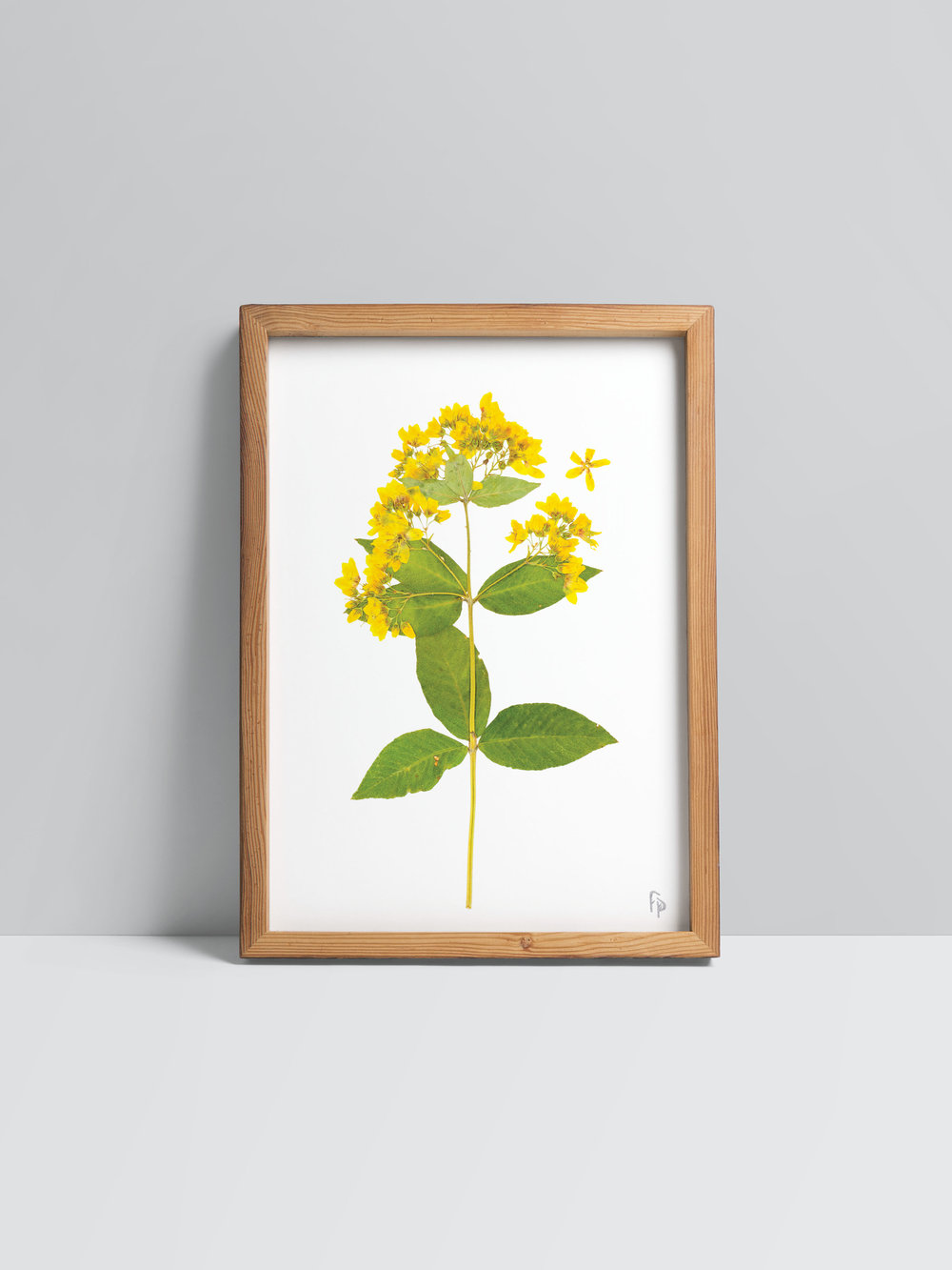 fine art prints - Bring the magic of the Swiss meadows into your home with elegant prints that celebrate the unique beauty of each pressed herbarium specimen.