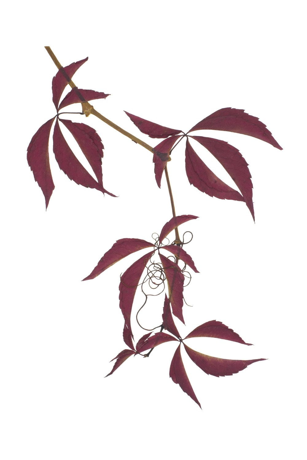 Virginia Creeper / Parthenocissus quinquefolia