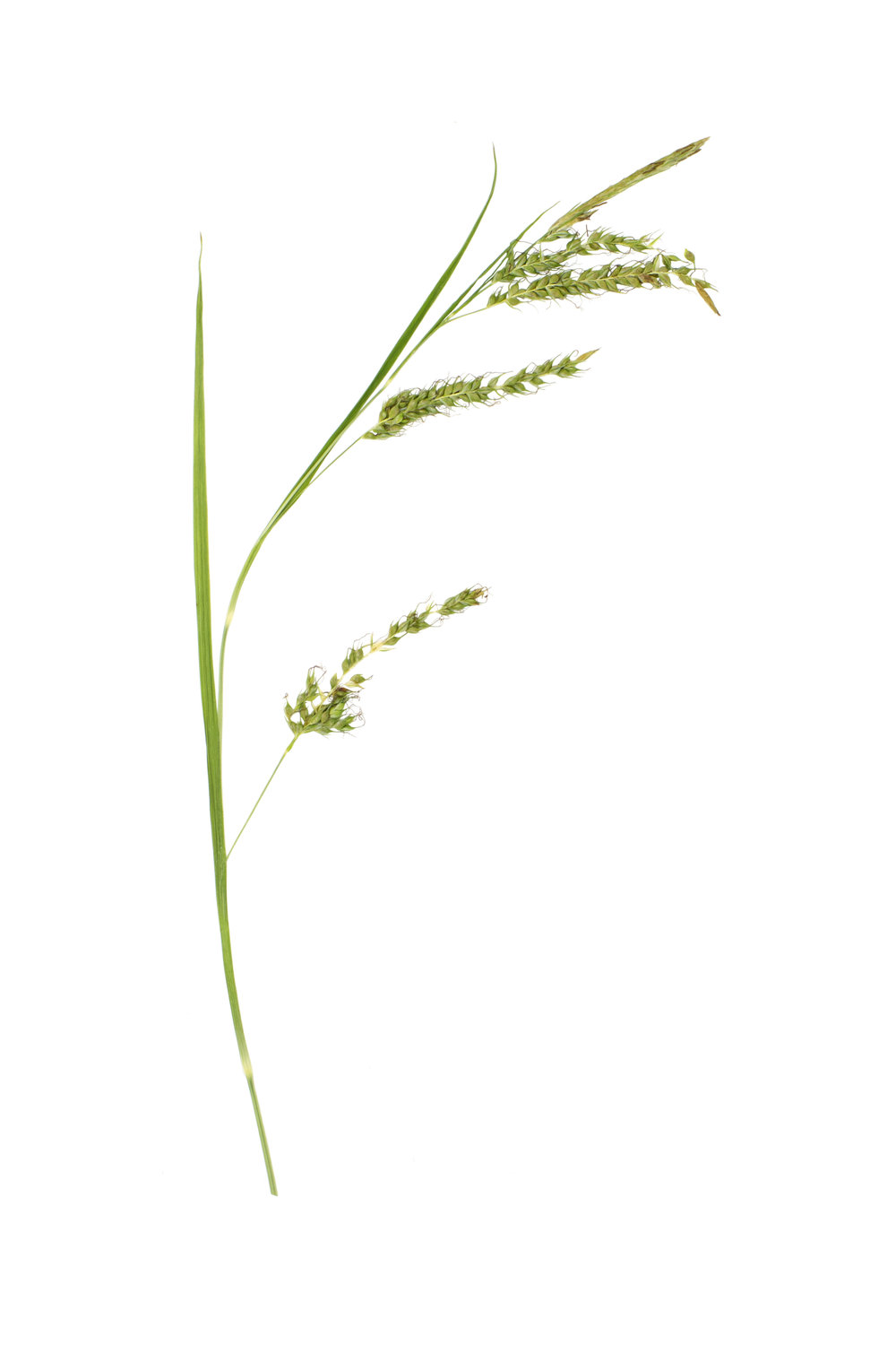 New! Bladder Sedge / Carex vesicaria
