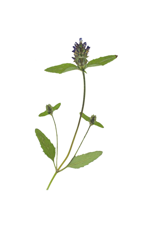 New! Self-heal / Prunella vulgaris