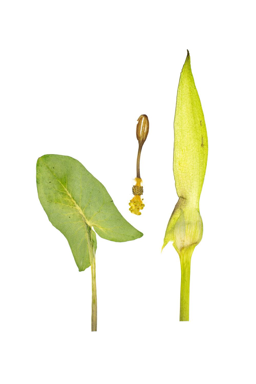 New! Wild Arum / Arum maculatum