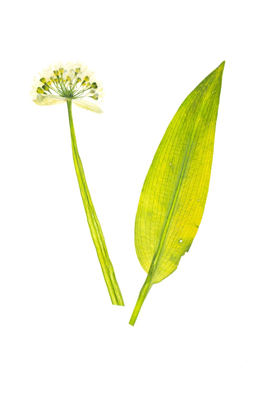 New! Wild Garlic / Allium ursinum