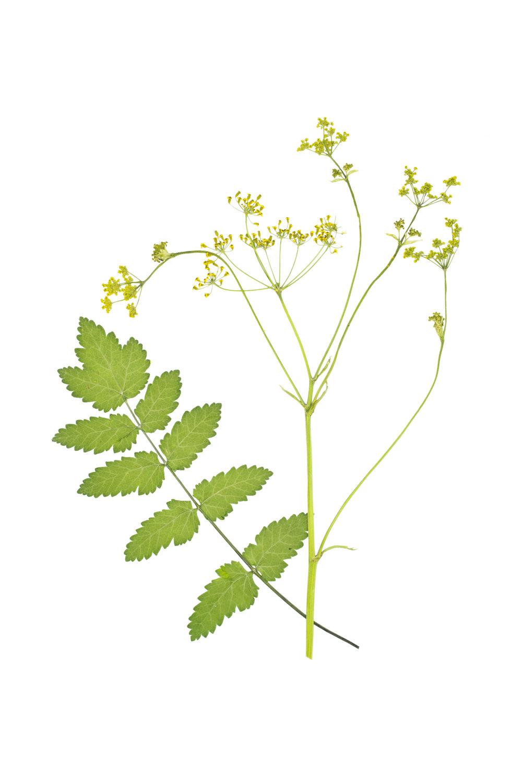 New! Wild Parsnip / Pastinaca sativa