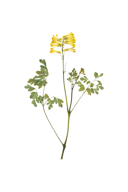 New! Yellow Larkspur / Corydalis lutea