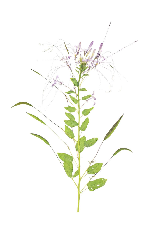 New! Cleome hassleriana / Spider Flower