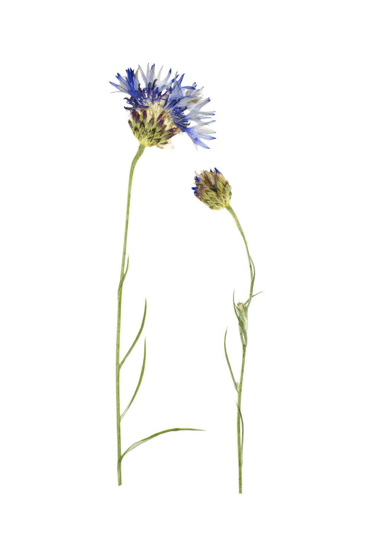 Centaurea cyanus / Cornflower
