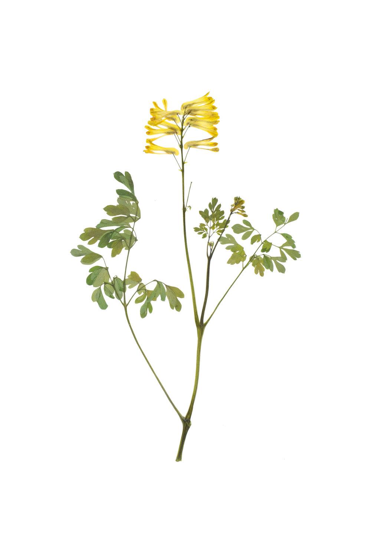 New! Corydalis lutea / Yellow Larkspur