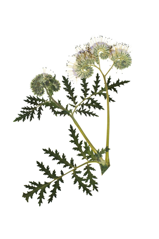 New! Phacelia tanacetifolia / Lacy Phacelia