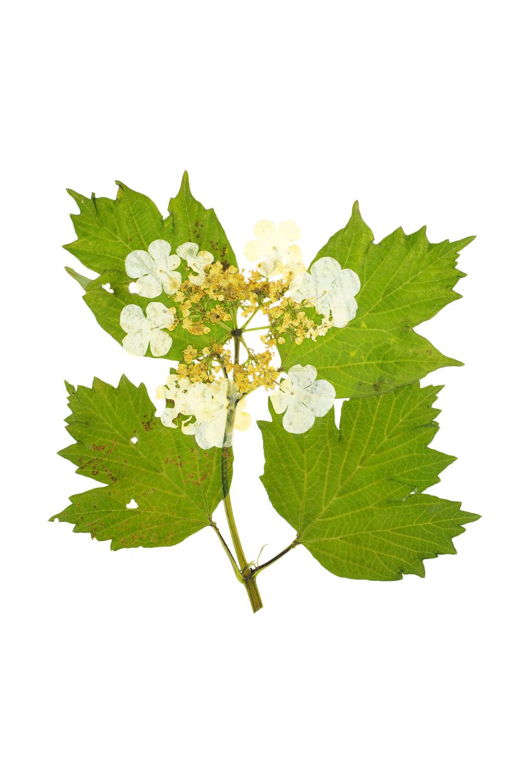 Viburnum opulus / Guelder Rose