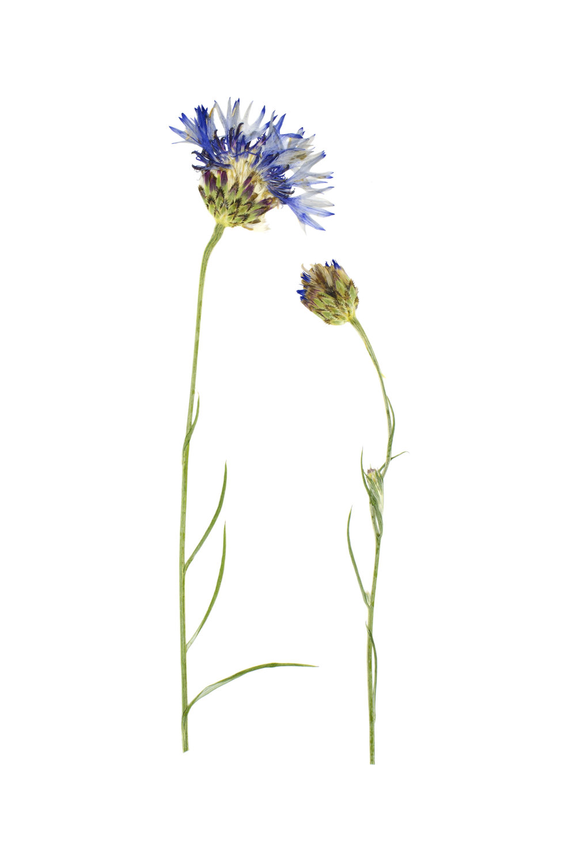 New! Centaurea cyanus / Cornflower