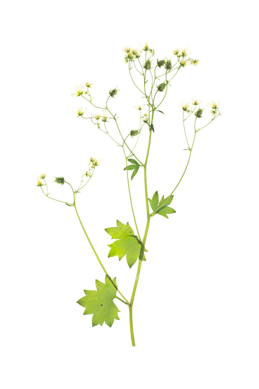 New! Saxifraga rotundifolia / Round-Leaved Saxifrage