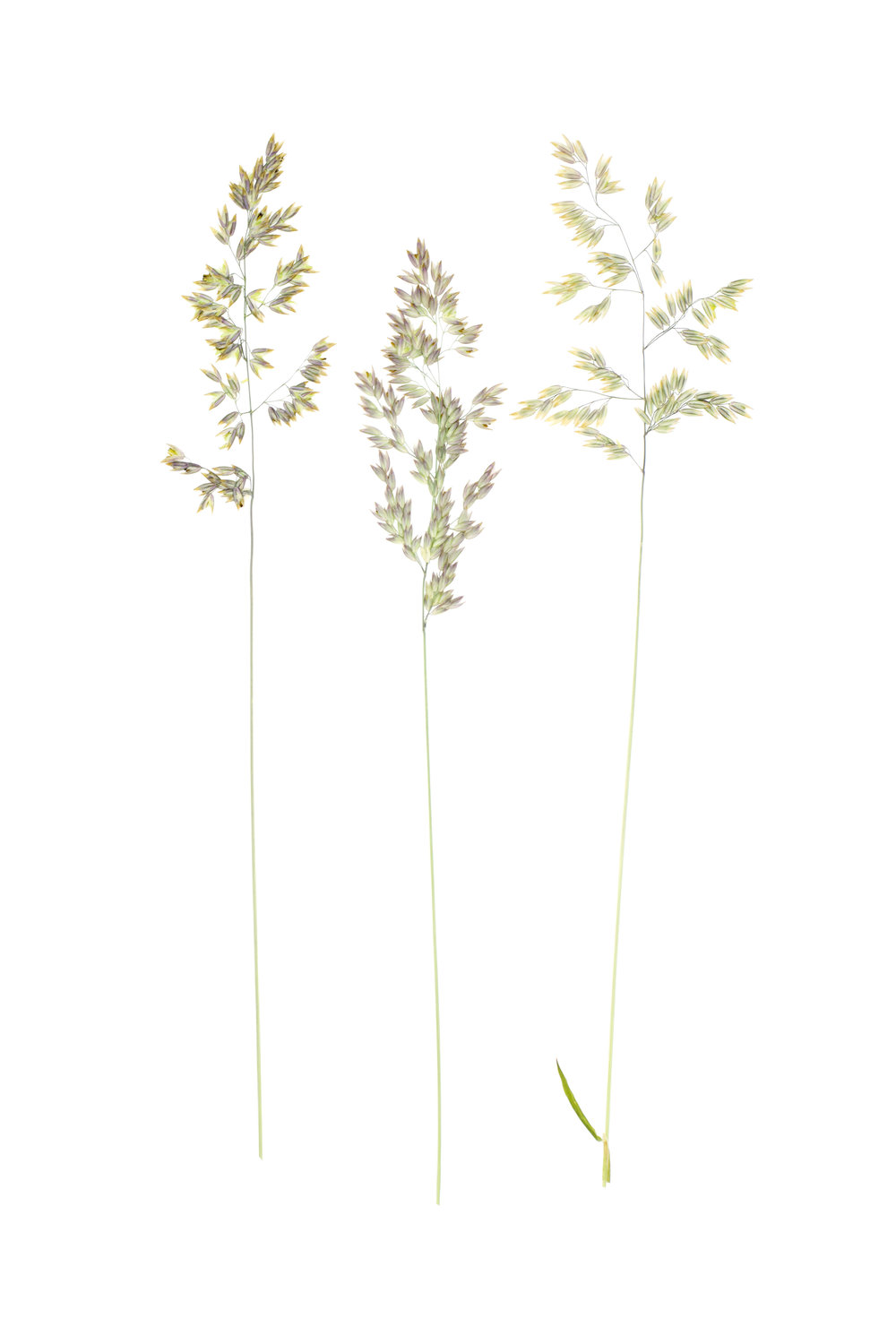Holcus lanatus / Velvet Grass or Yorkshire Fog