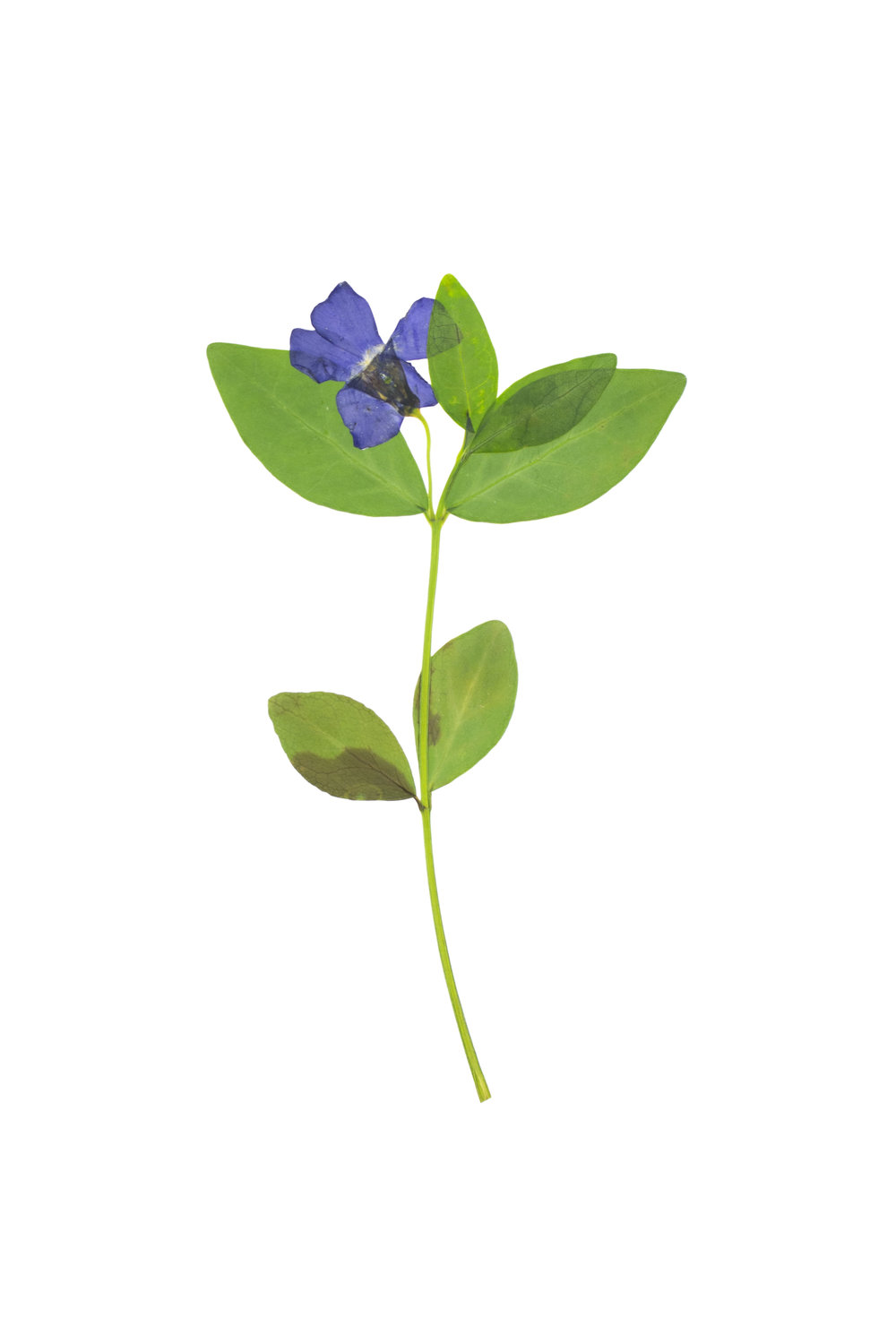 New! Periwinkle / Vinca minor