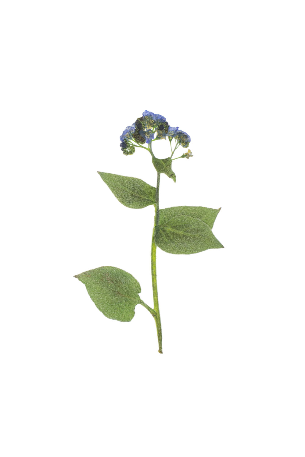 Great Forget-Me-Not / Brunnera macrophylla