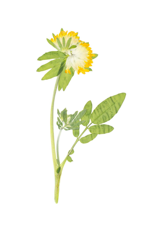 Woundwort / Anthyllis vulneraria alpestris