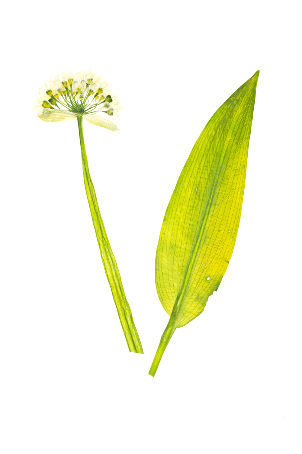 New! Wild Garlic / Allium ursinum