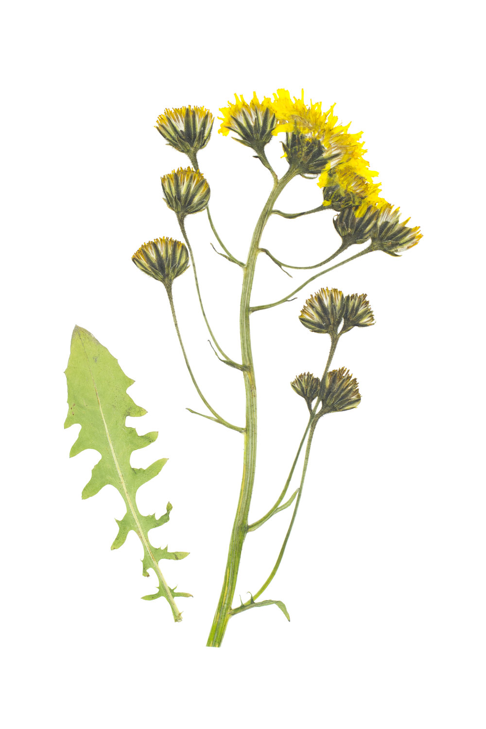 Smooth Hawksbeard / Crepis capillaris
