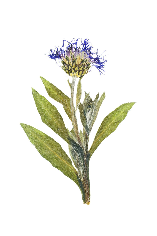 Perennial Cornflower / Centaurea montana