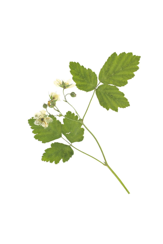 European Dewberry / Rubus caesius
