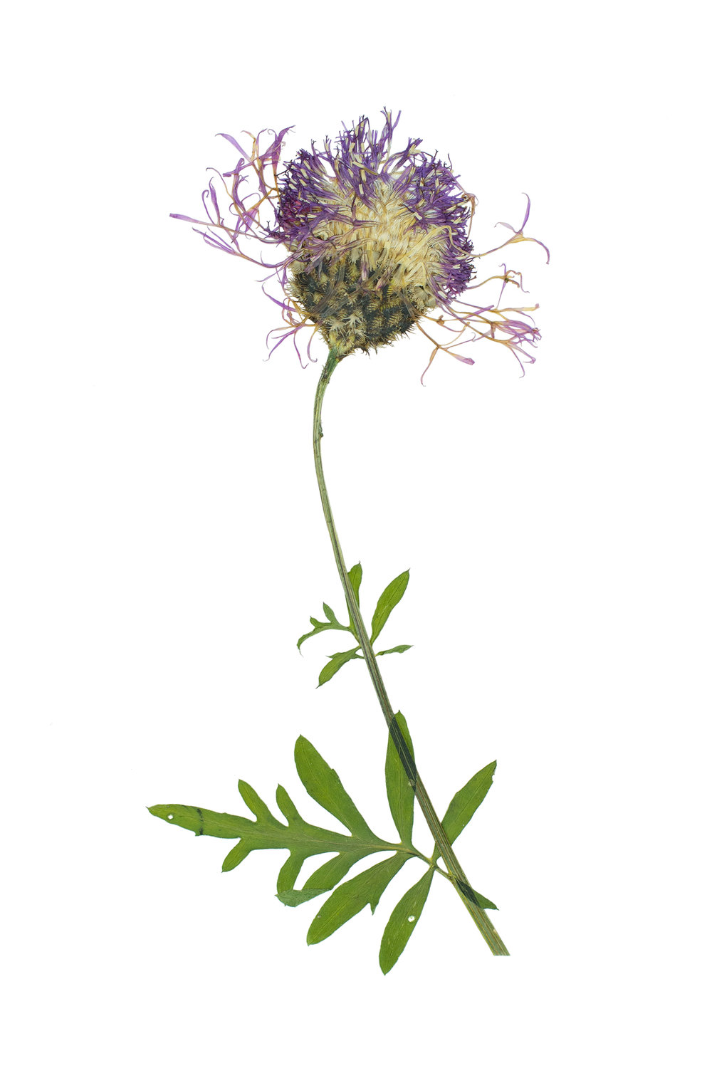 Greater Knapweed / Centaurea scabiosa