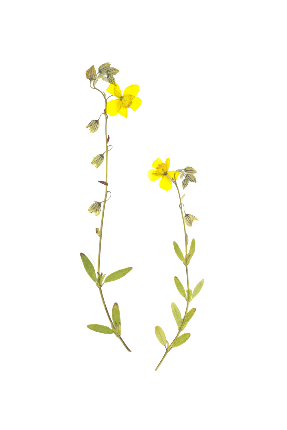 New! Oval-Leaved Rock-Rose / Helianthemum nummularium obscurum