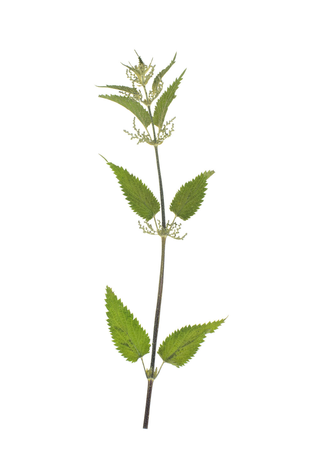 Stinging Nettle / Urtica dioica