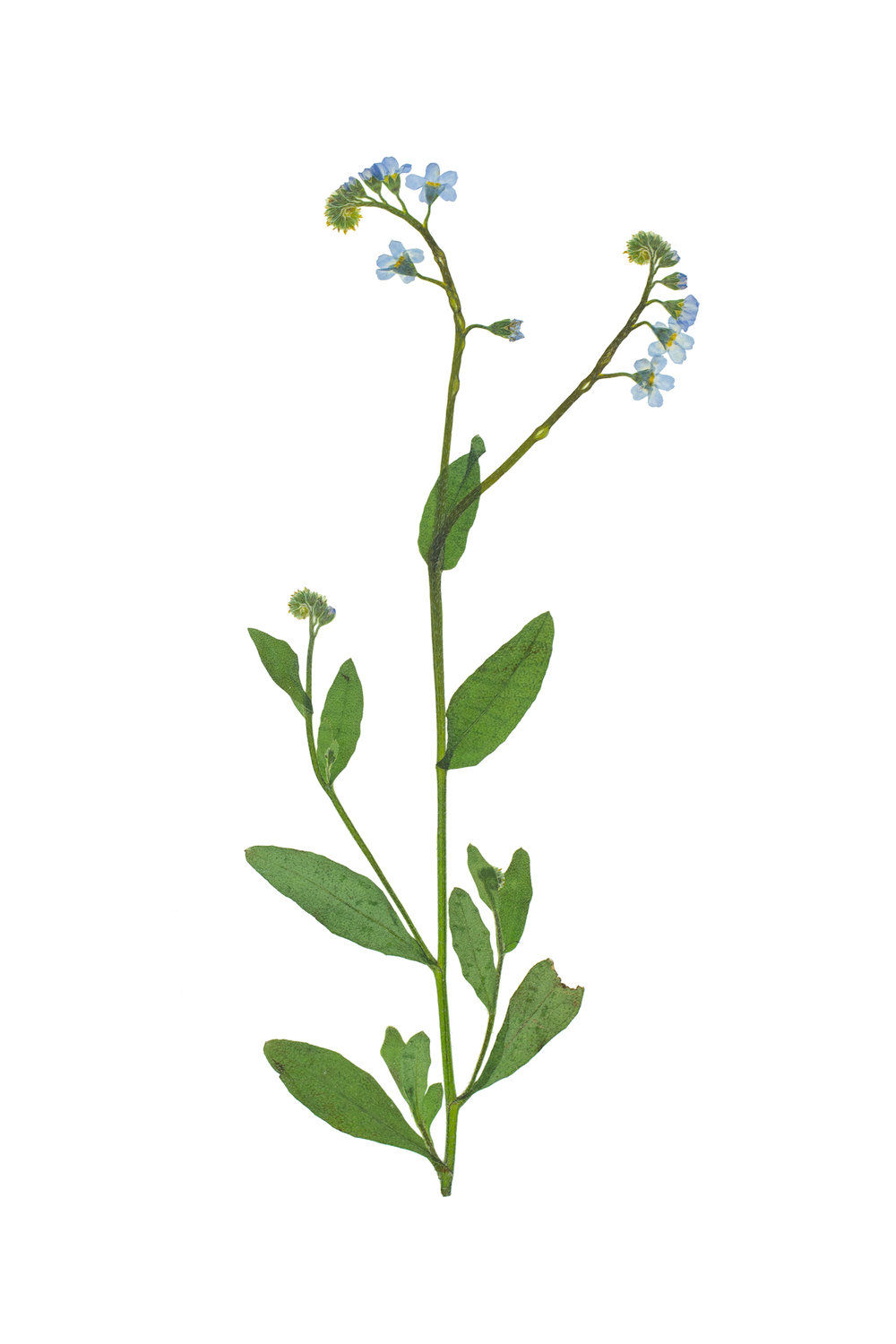 True Forget-Me-Not / Myosotis scorpioides