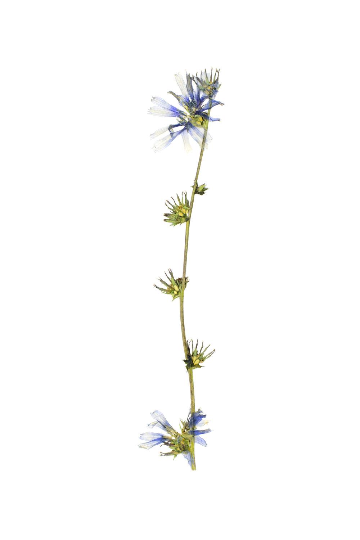 Chicory / Cichorium intybus