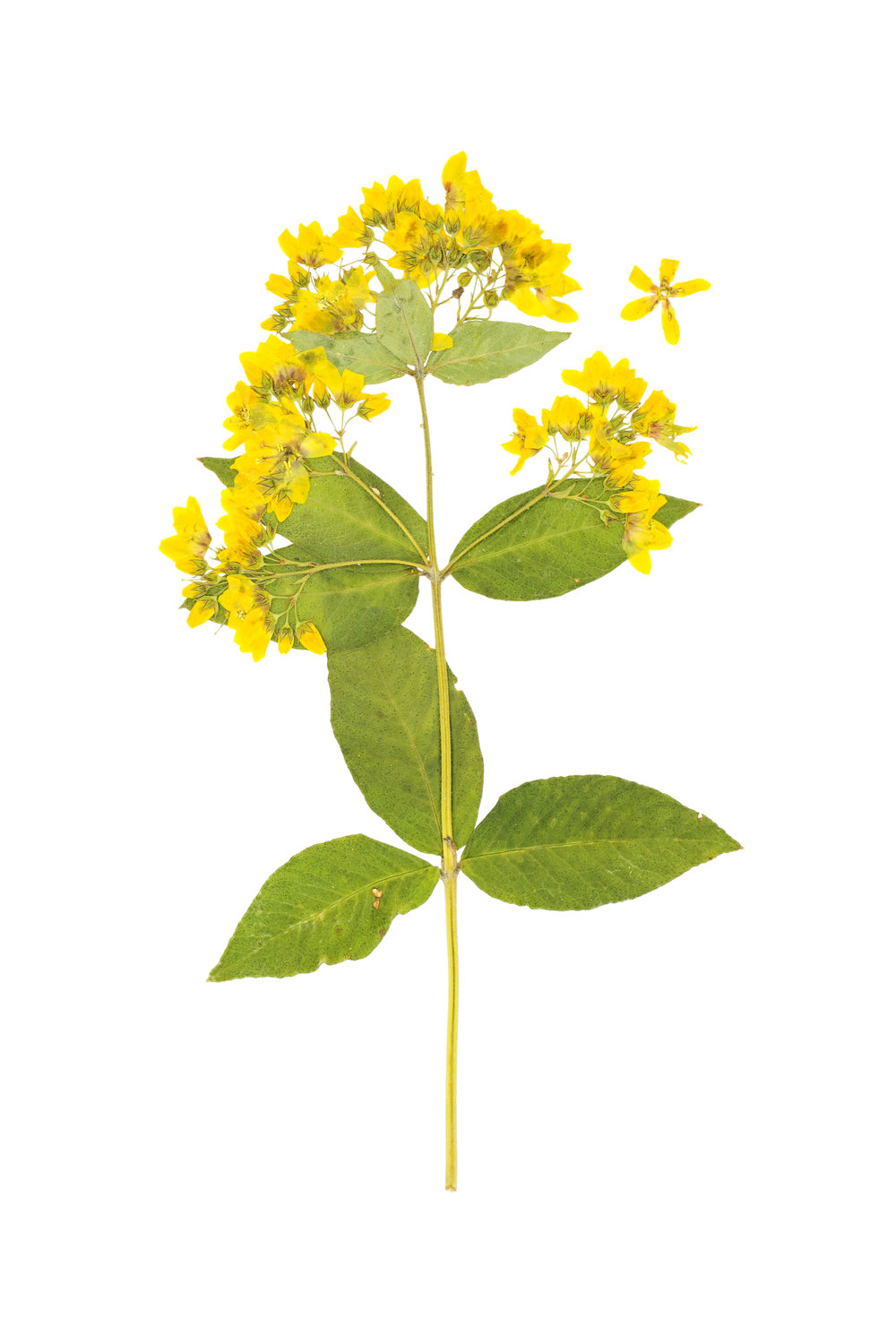 Yellow Loosestrife / Lysimachia vulgaris