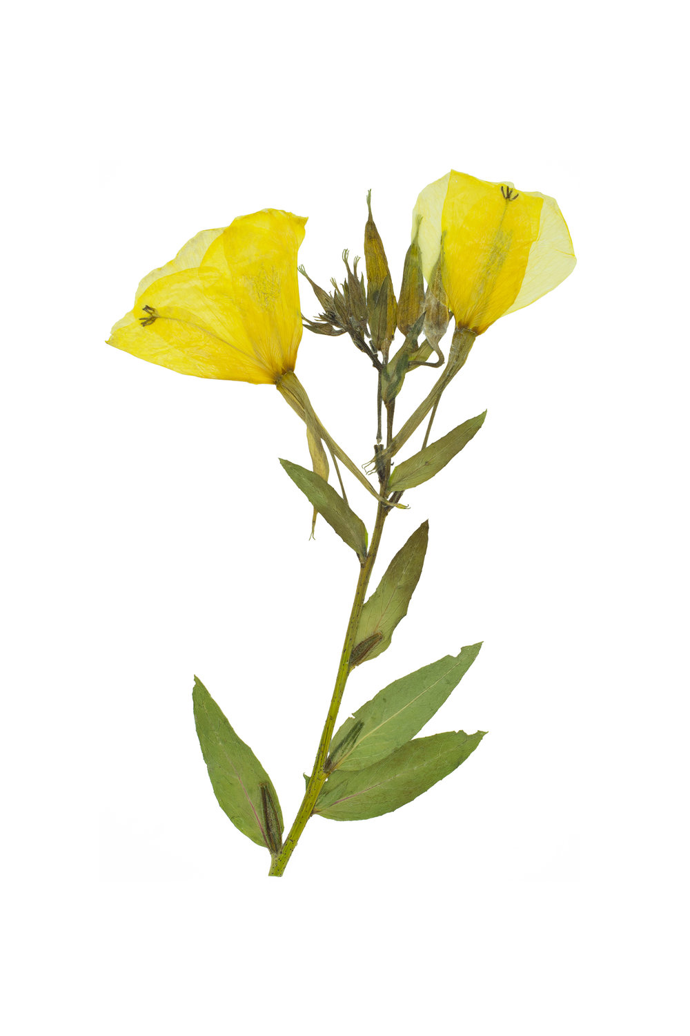 Large-Flowered Evening Primrose / Oenothera glazioviana
