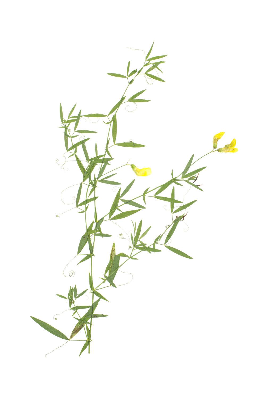 Meadow Pea / Lathyrus pratensis