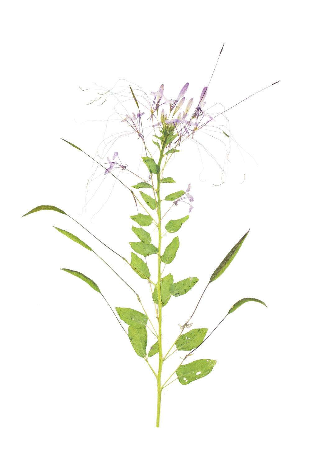 New! Spider Flower / Cleome hassleriana