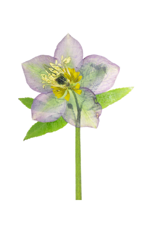 Hellebore or Lenten Rose / Helleborus orientalis