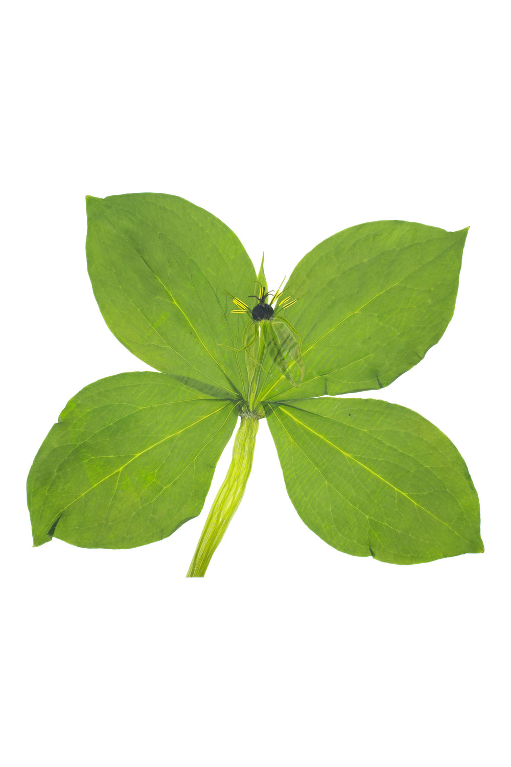 New! Herb-Paris / Paris quadrifolia