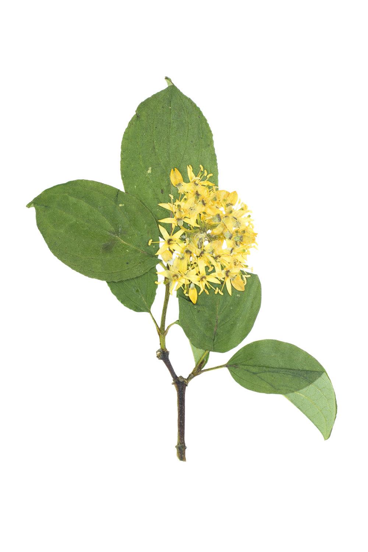 Dogwood / Cornus sanguinea