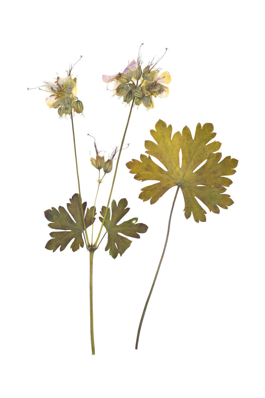 Meadow Cranesbill / Geranium pratense