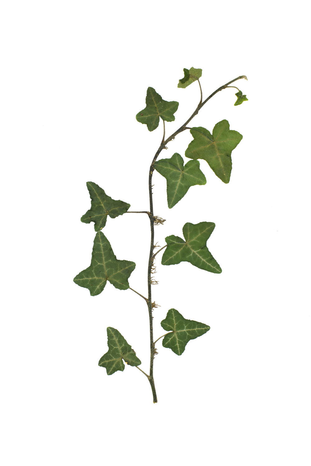 English Ivy / Hedera helix