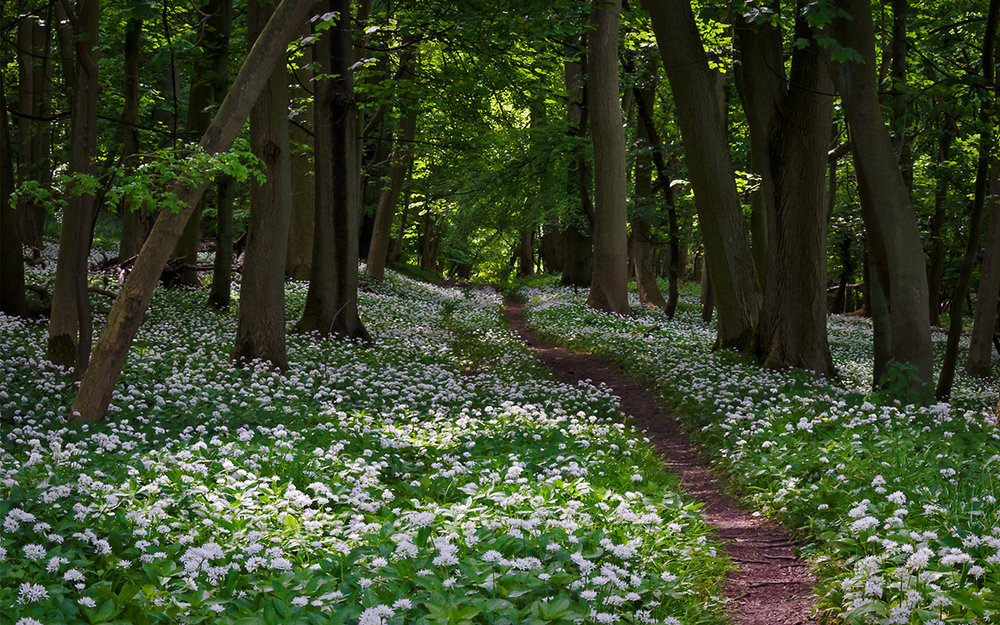 """photograph: """" wild garlic flowering in woodland """" by  ukgardenphotos , licensed under  CC BY-NC-ND 2.0  / cropped from original"""