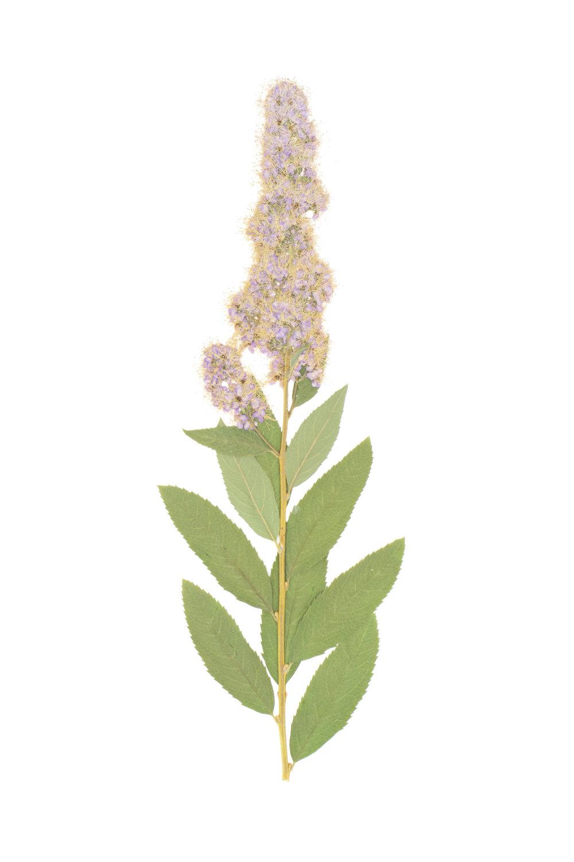 New! Willowleaf Meadowsweet / Spiraea salicifolia