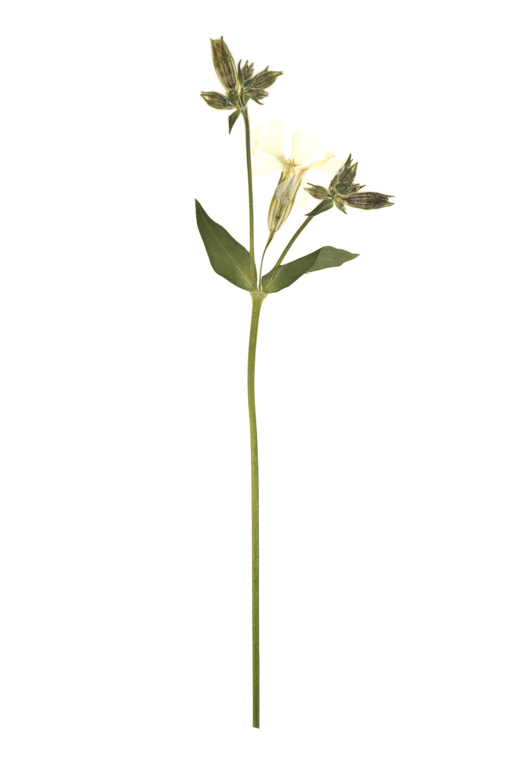 New! White Campion / Silene pratensis